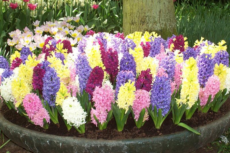 Різнобарвні гіацинти прикрасять не лише будинок, а і ваш сад