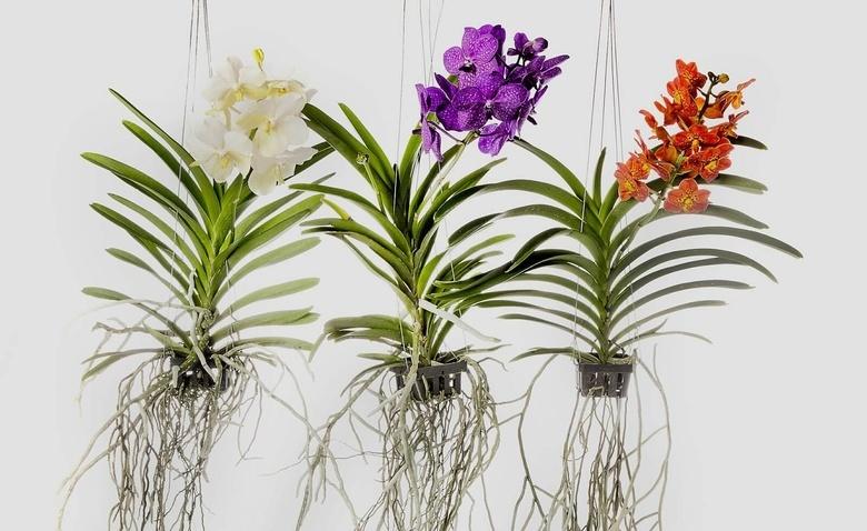 Орхідея Ванда здатна вбирати вологу навіть з повітря