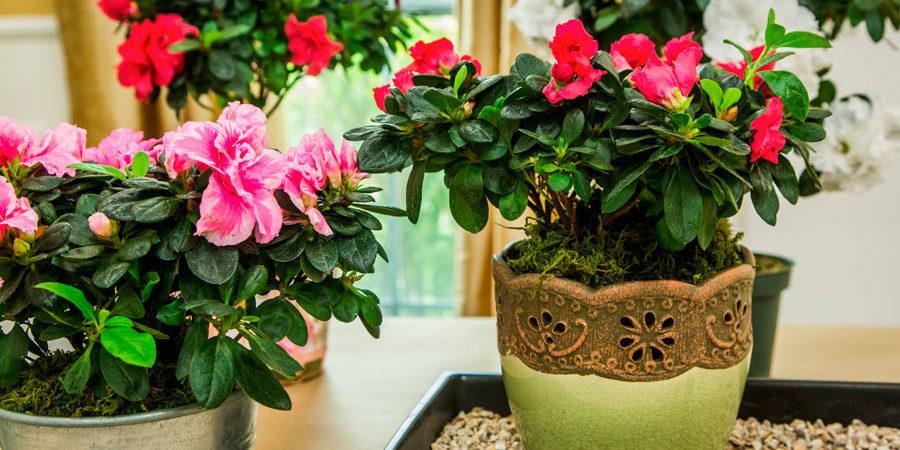 Азалія - квітка роду рододендронів