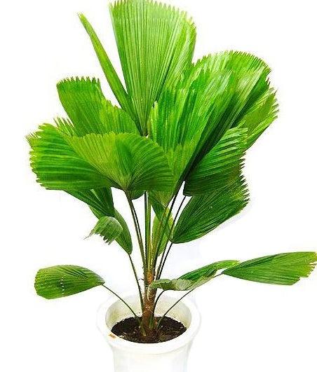 Пальма Лікуала є ніжною теплолюбною рослиною