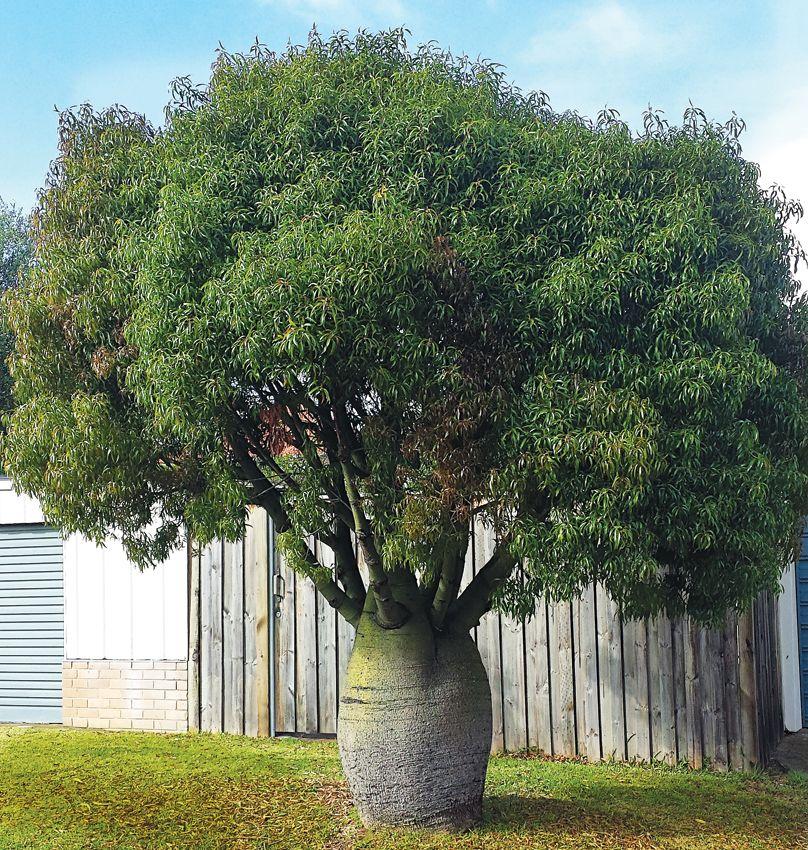 Брахіхітон (Brachychiton), дерево щастя, або пляшкове дерево