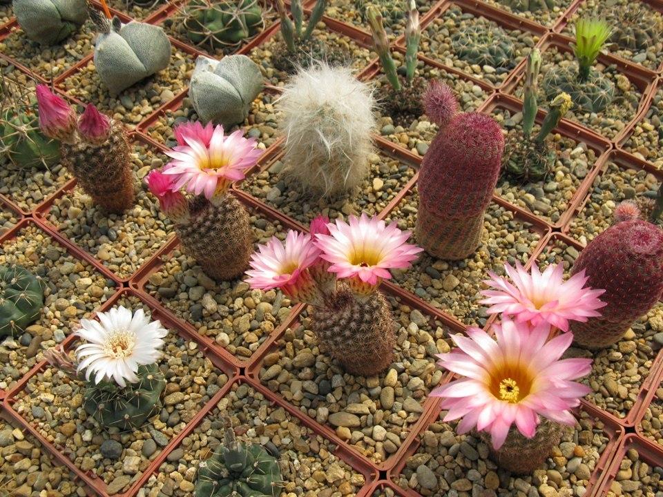 Залежно від виду Нотокактусу квітки бувають дрібні або великі, жовті або жовто-фіолетові
