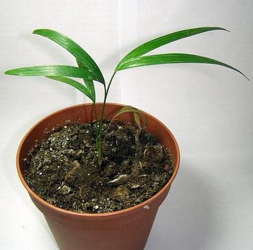 Єдиний спосіб розмноження лікуали - насінням
