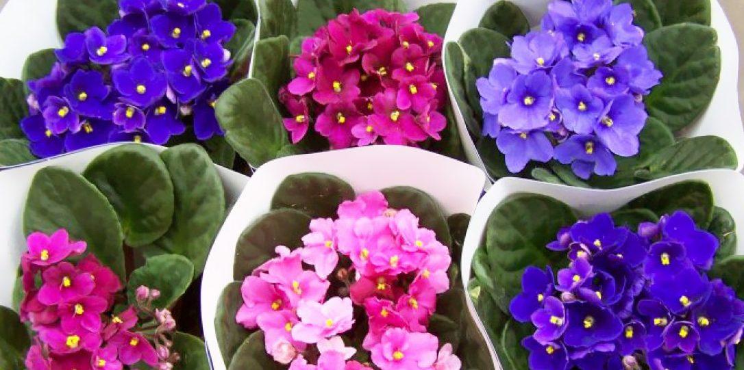 Фіа́лка (Viola) — рід квіткових рослин родини фіалкових