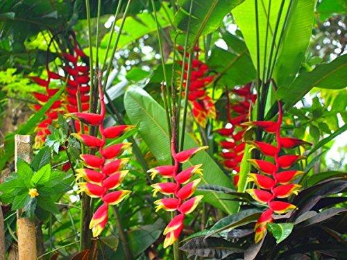 Геліконія (Heliconia) - трав'яниста рослина має пряме відношення до родини геліконієві (Heliconiaceae)