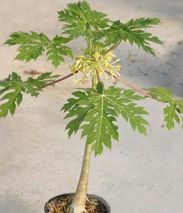 Папайя (Carica papaya) - трав'яниста багаторічна рослина південноамериканського походження