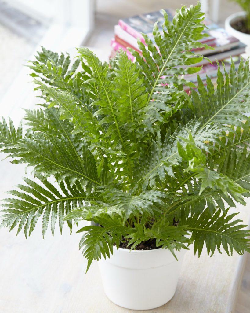 Блехнум налічує приблизно 200 видів рослин, що відрізняються високою декоративністю