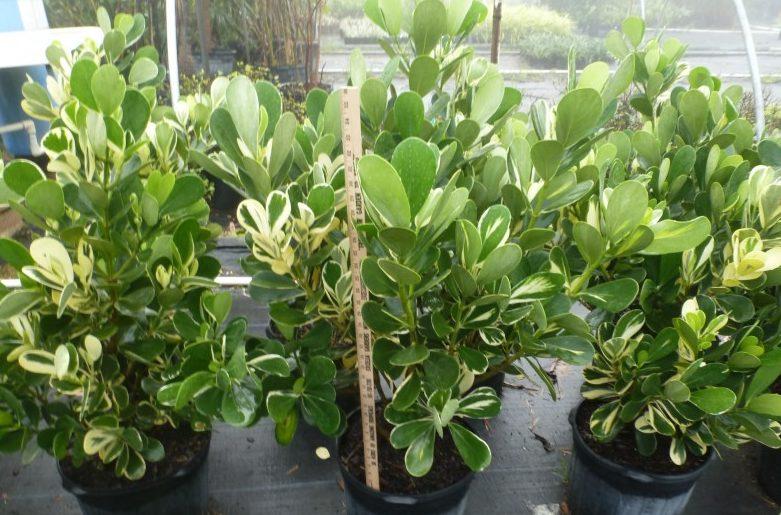 Клузія (Clusia) - багаторічні чагарники або дерева сімейства Клузієві (Clusiaceae)