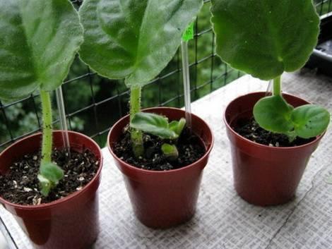 Найпростіший спосіб розмноження фіалки - вкорінення листочків
