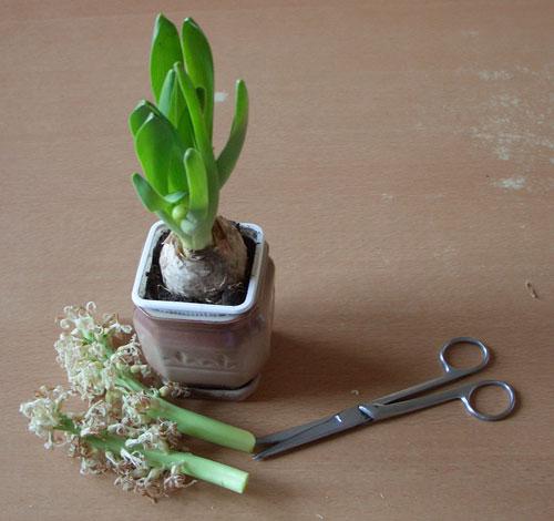 Гіацинт після цвітіння