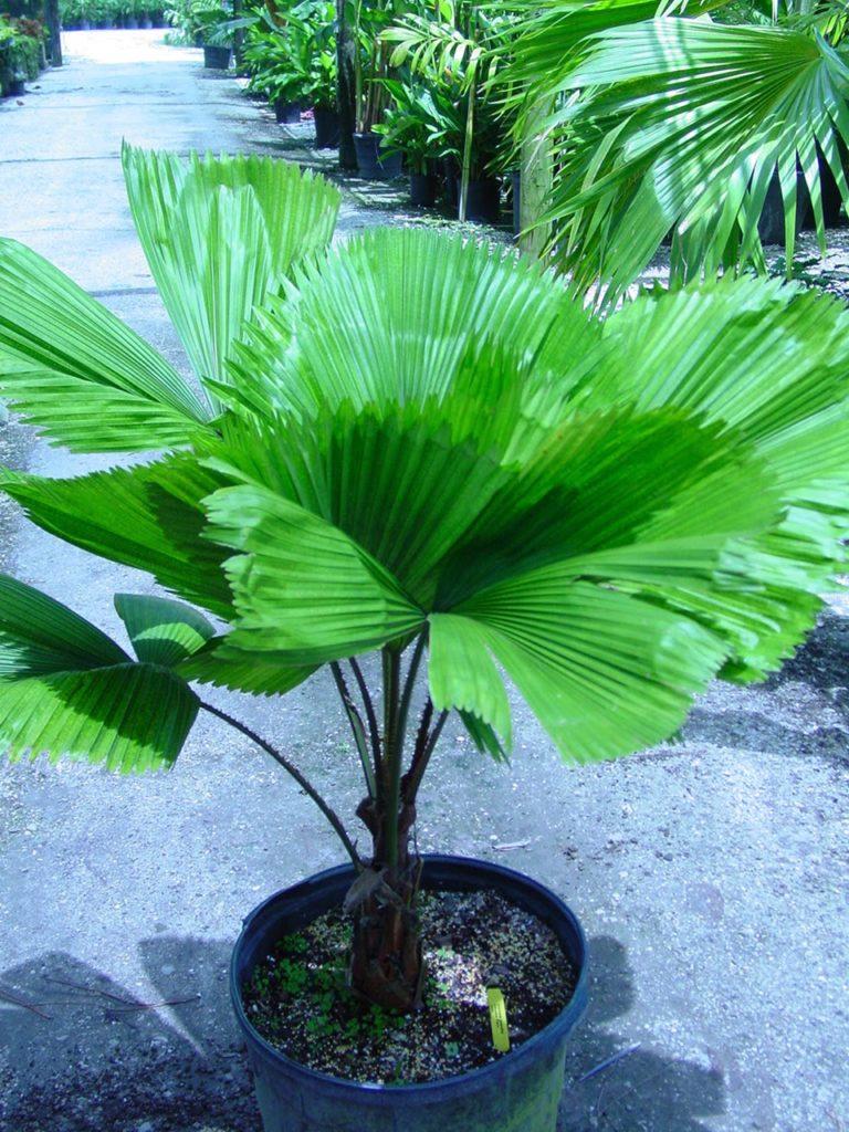 Лікуала (Licuala) - вічнозелена багаторічна пальма