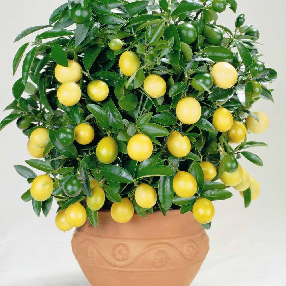 У кімнатних умовах лимон може досягати у висоту 150 сантиметрів