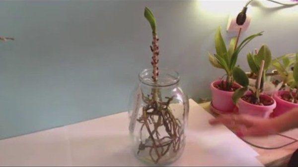Розмноження орхідеї ванди дітками