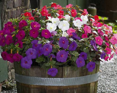 Ахіменес має насичене забарвлення квіток