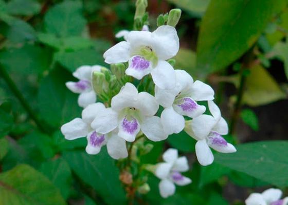 Азістазія вирощується квітникарями найчастіше через ефектне цвітіння