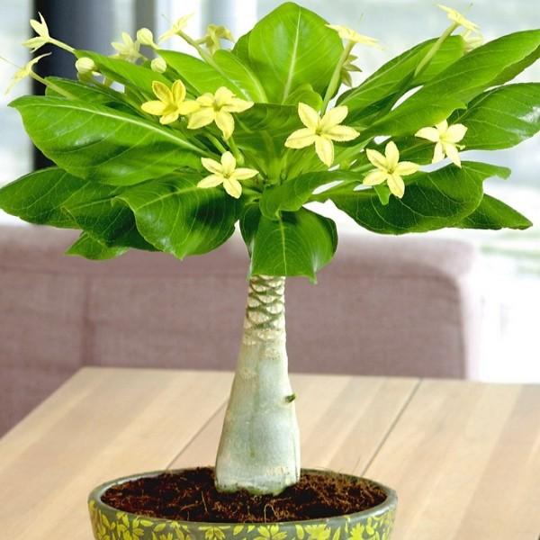 Брігамію ще називають «гавайською пальмою», «капустою на ніжці», «пальмою-вулкан».