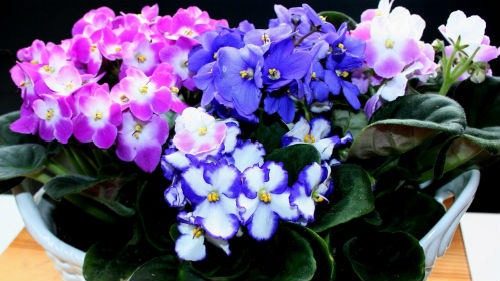 Фіалка завоювала любов квітникарів простотою в догляді та своєю різнобарвністю