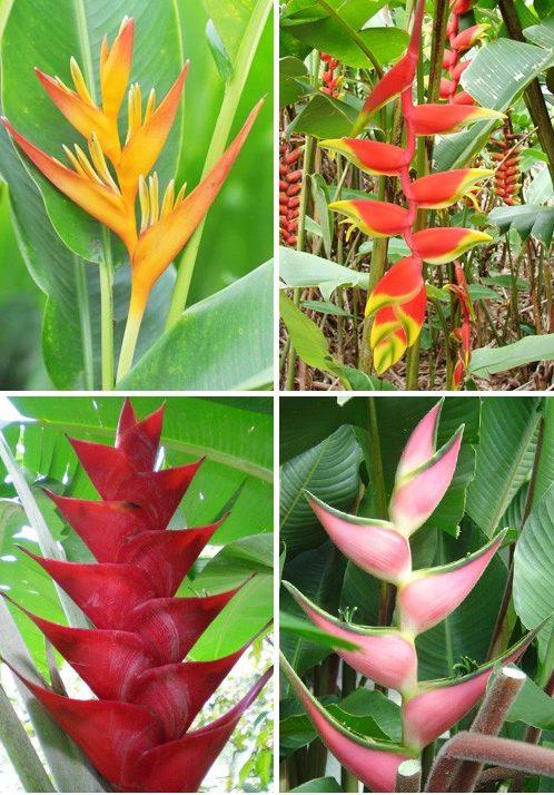 У геліконії в народі є й інші назви: дзьоб папуги, дикий банан, клешня омара