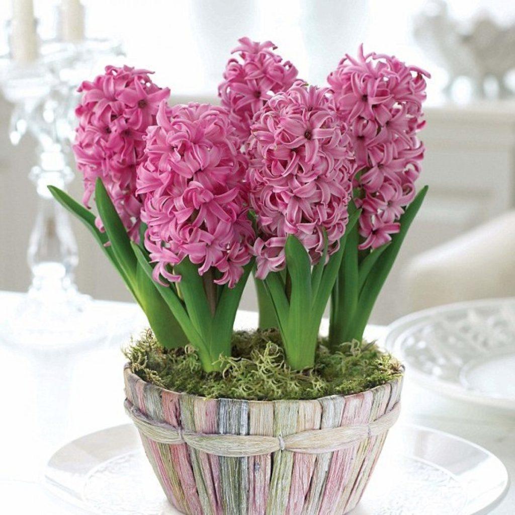 Гіацинт (Hyacinthus) - перекладається як «квітка дощів»