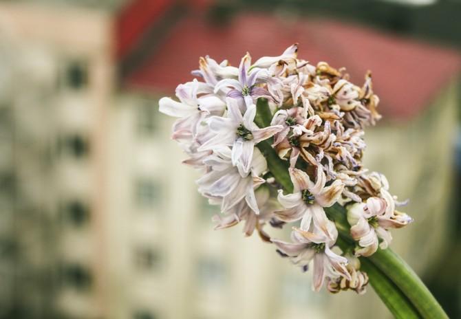 Проблеми в вирощуванні гіацинта