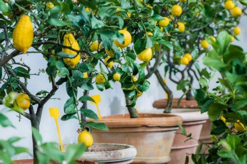Кімнатний лимон любить яскраве розсіяне сонячне світло
