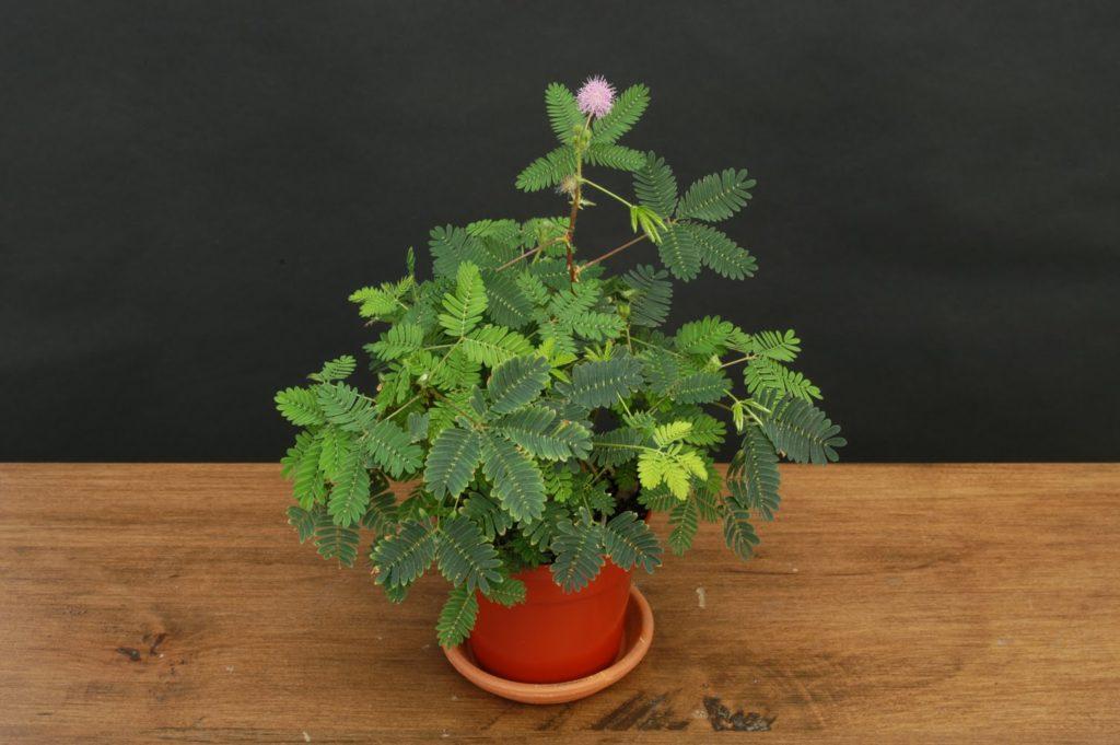Мімоза сором'язлива -  (Mimosa pudica)