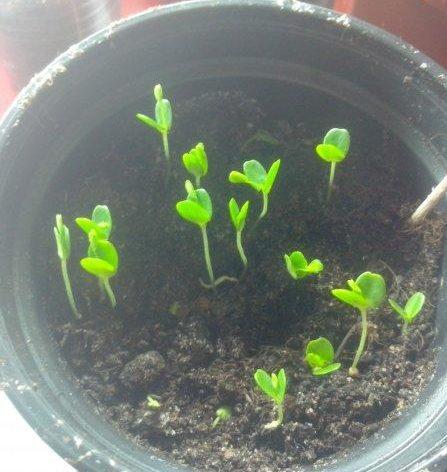 Мімоза сором'язлива - вирощування з насіння