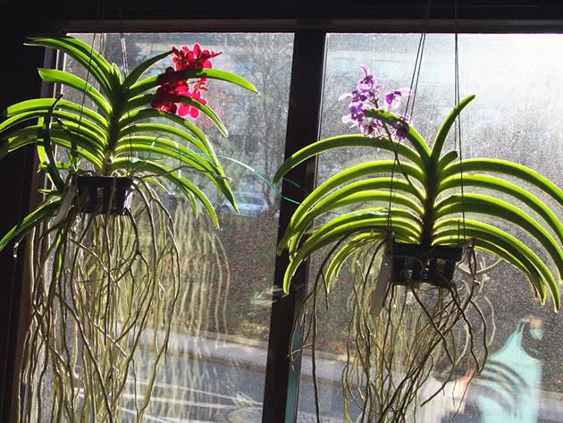 Орхідея Ванда світлолюбна рослина