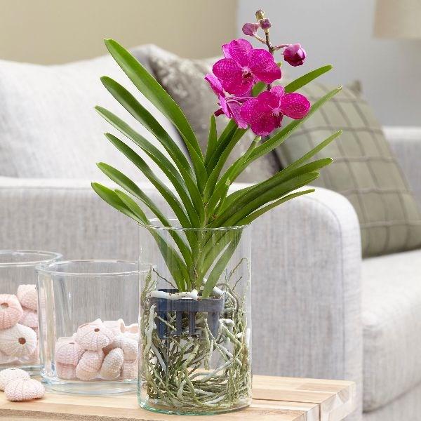 Орхідею Ванду можна вирощувати  в скляних високих вазах