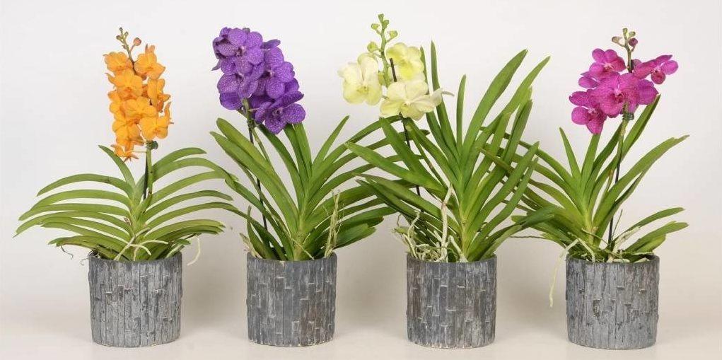 Орхідея Ванда - догляд в домашніх умовах