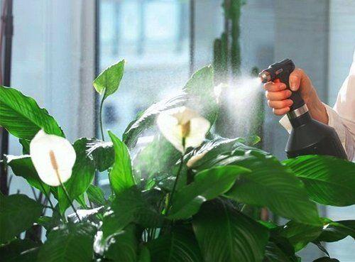 Спатифіллум - вологолюбива рослина