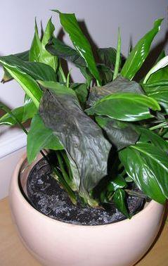У Спатифіллума чорніє листя