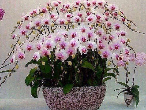 Цвітіння орхідеї фаленопсис