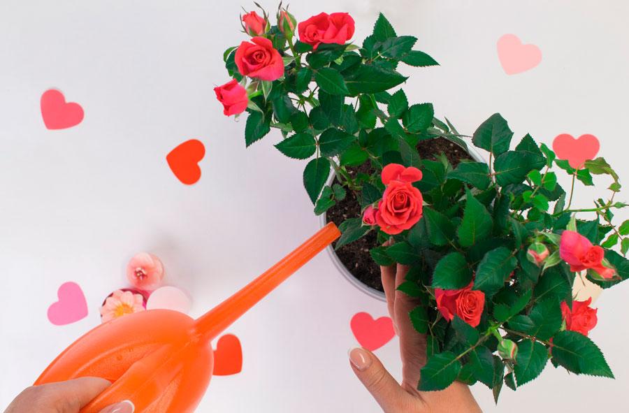 Кімнатна троянда - вологолюбна рослина