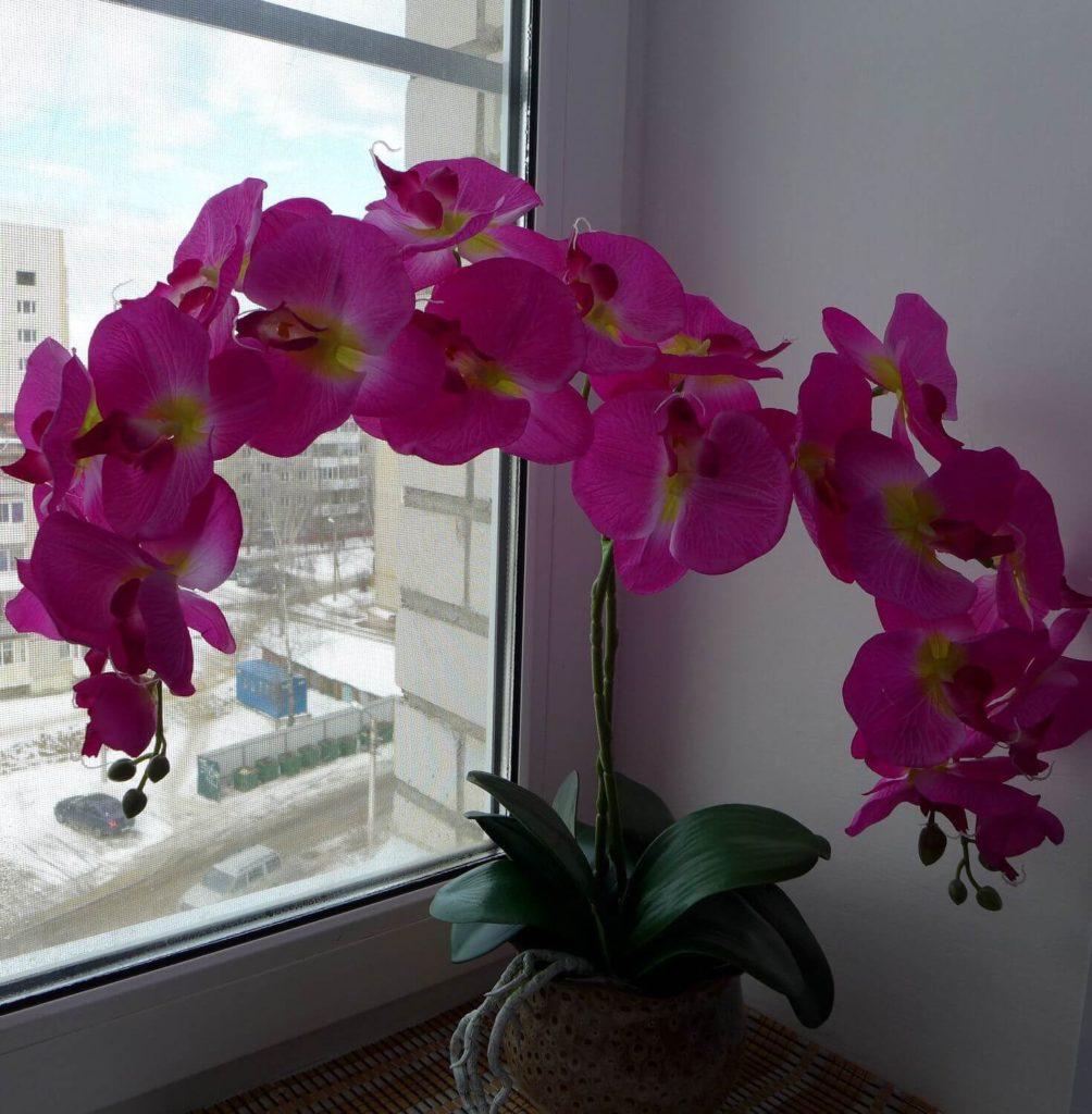 Королівська орхідея фаленопсис