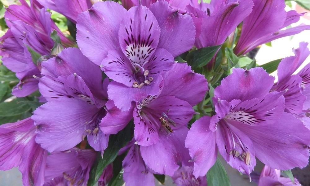 """Сорти астромерії """"Б'юті"""" з бузковими або фіолетовими квітами"""