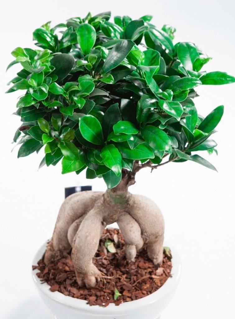 Фікус мікрокарпа вирощується як рослини в стилі бонсай