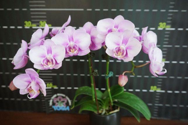 Орхідея фаленопсис сакура
