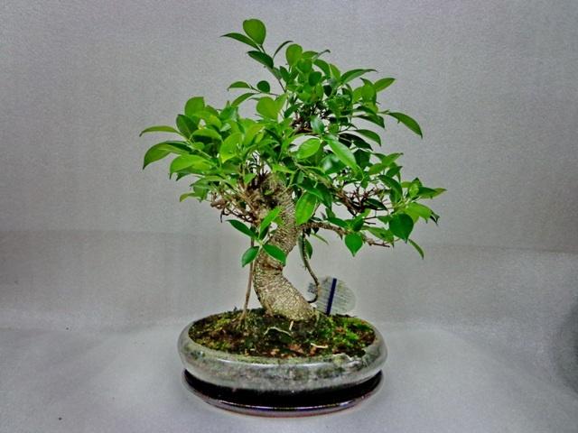 Фікус мікрокарпа (Ficus microcarpa) - вічнозелене дерево