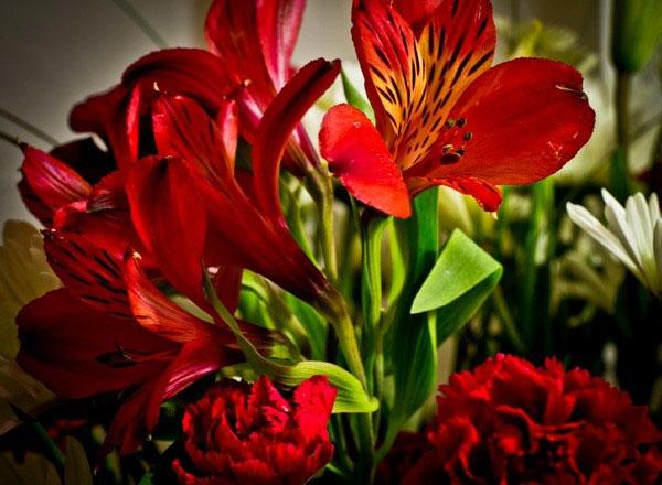 Альстромерія криваво-квіткова