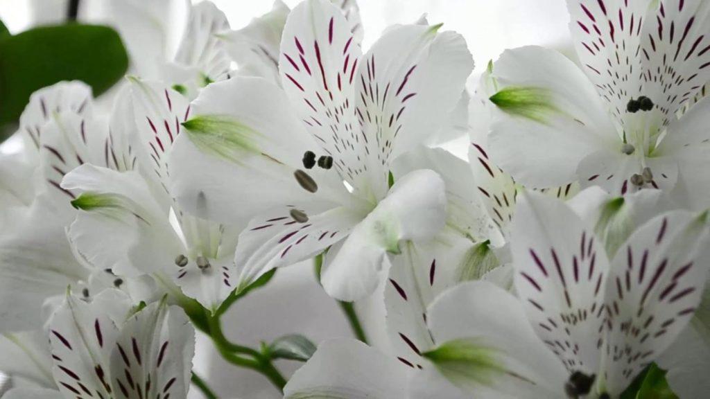 Вірджинія - різновид астромерії з білими квітами