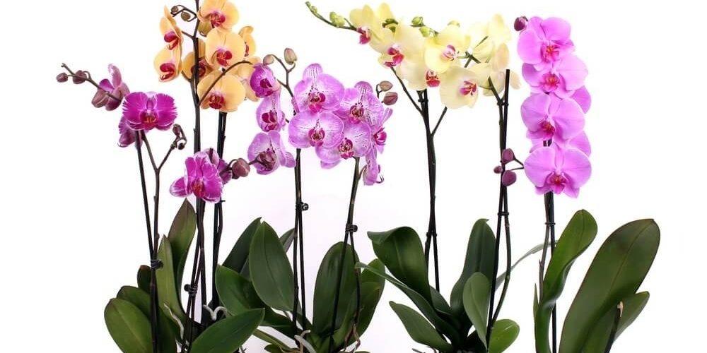 Орхідея фаленопсис