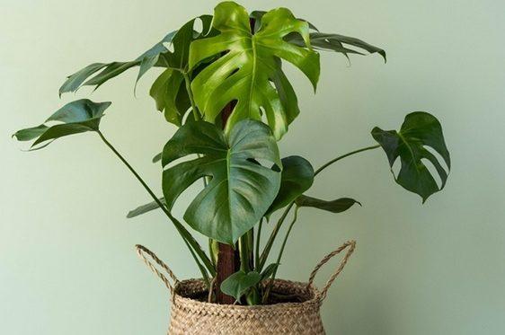 Монстера - вологолюна рослина