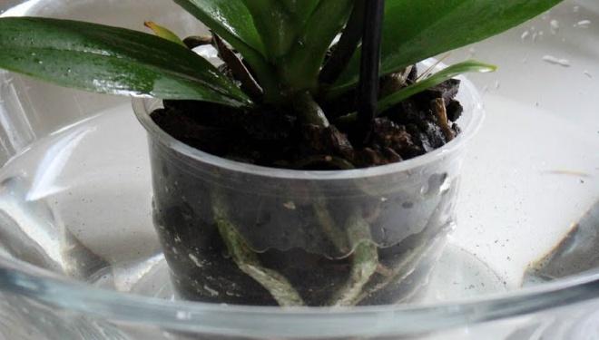 Полив орхідеї фаленопсис