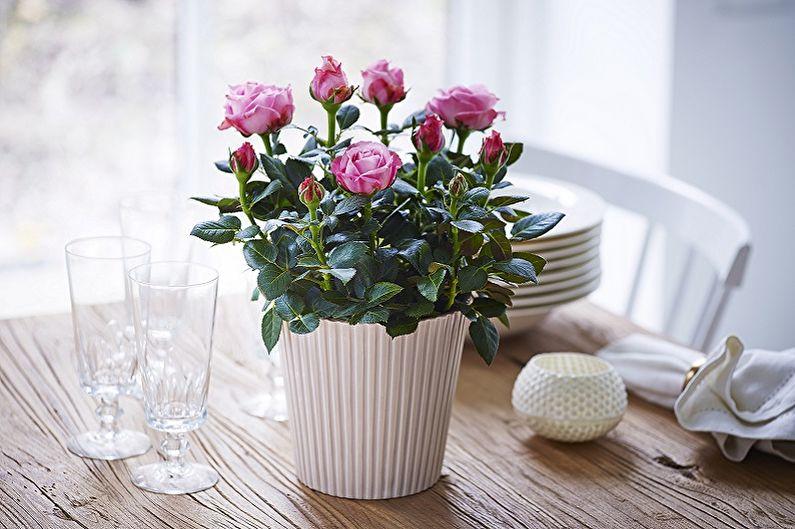 Кімнатна троянда - улюблениця багатьох квітникарів