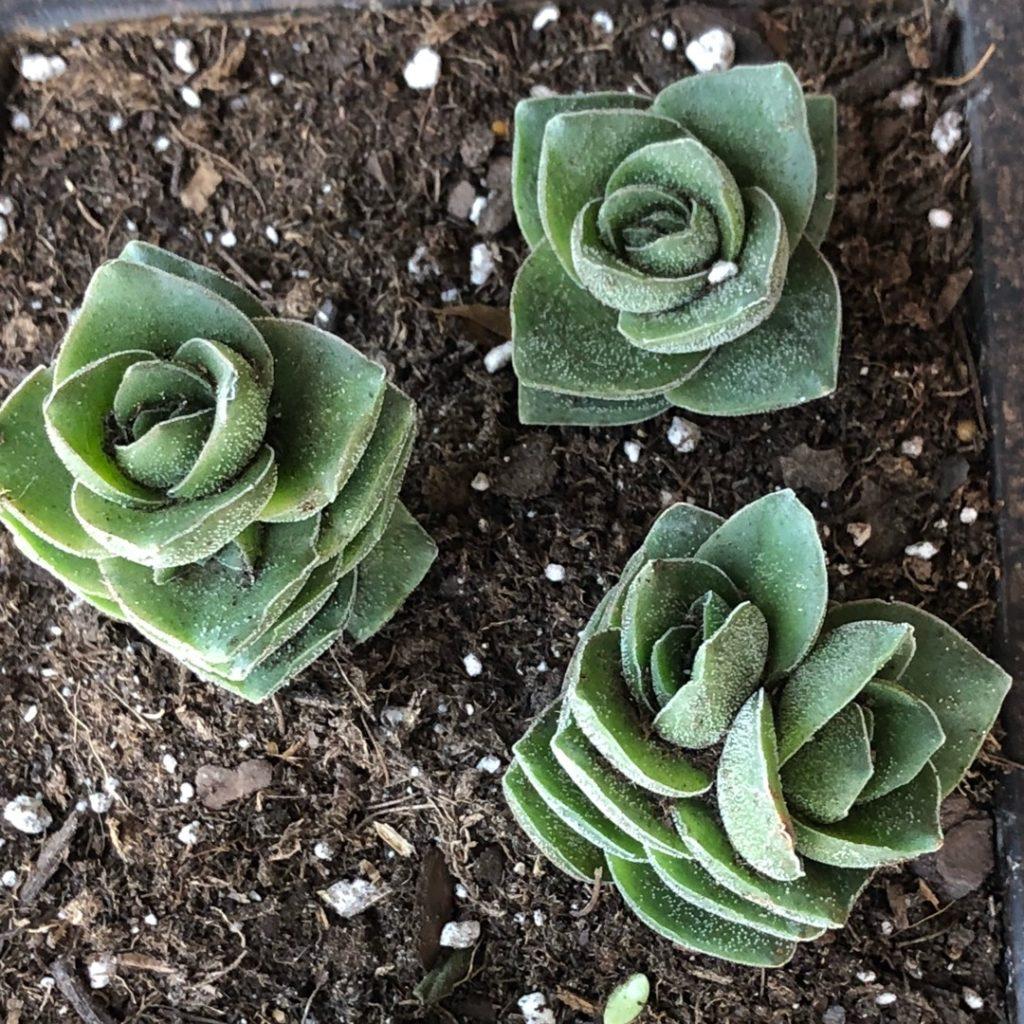 Крассула лактеа (Crassula lactea)