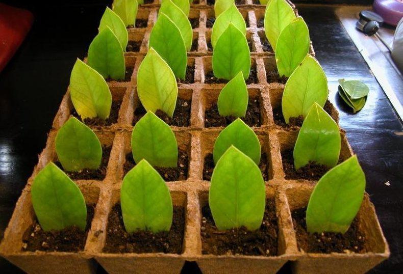Розмноження доларового дерева листком