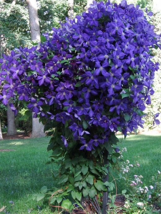 Клематис - вологолюбна рослина, тому потребує хорошого поливу