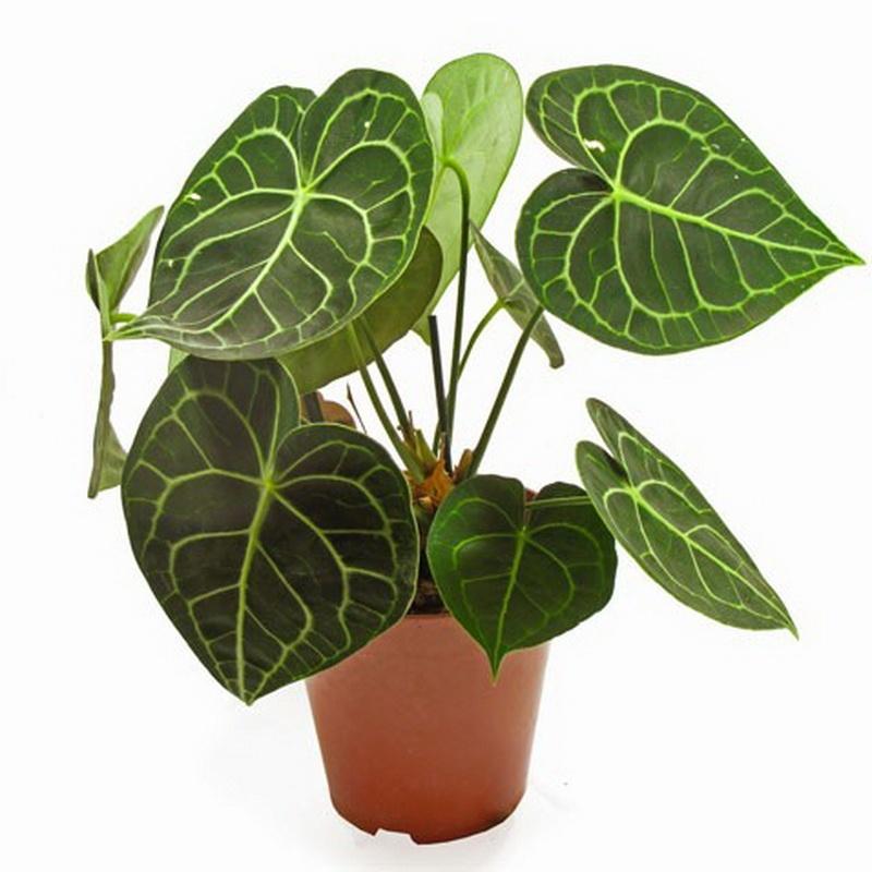 Антуріум кришталевий - сорт, який вирощують заради декоративного бархатистого листя