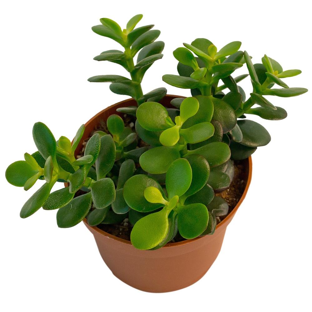 Крассула овальна (Crassula ovata)